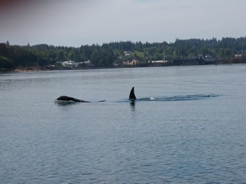 Orca Whale in Oakland Bay